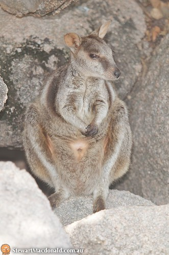 Allied rock-wallaby (Petrogale assimilis) | by Stewart Macdonald