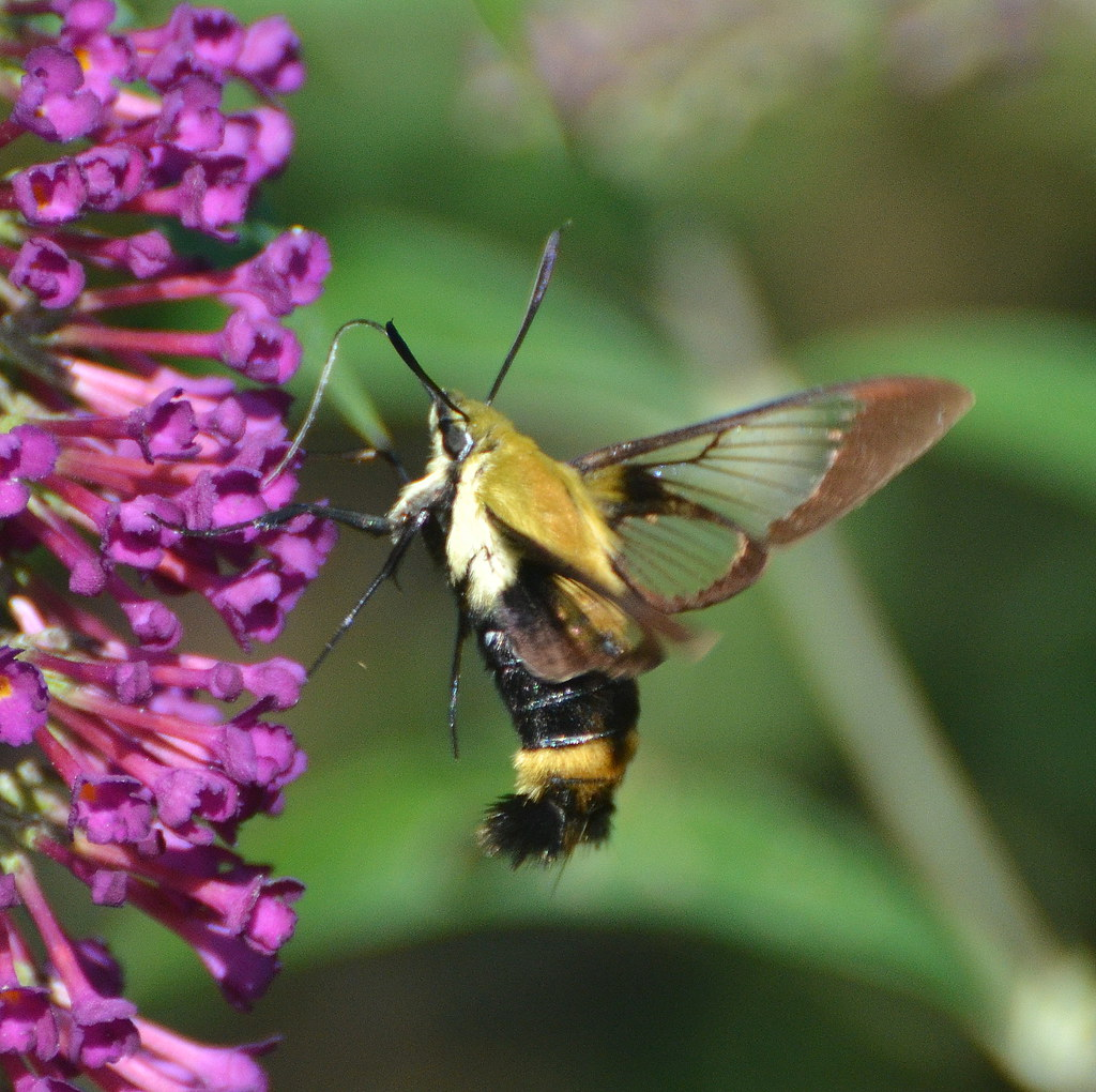 Snowberry Clearwing Hummingbird Moth On Buddleiea Ok So