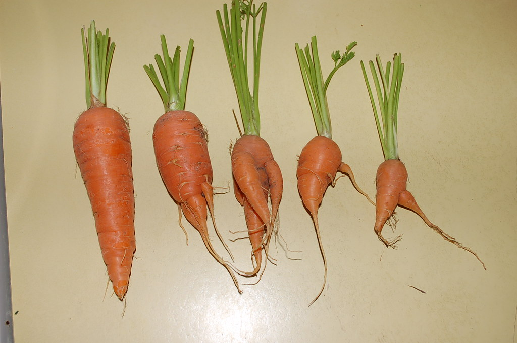 ... Evolution of the Carrot | Image of carrot oddities from … | Flickr