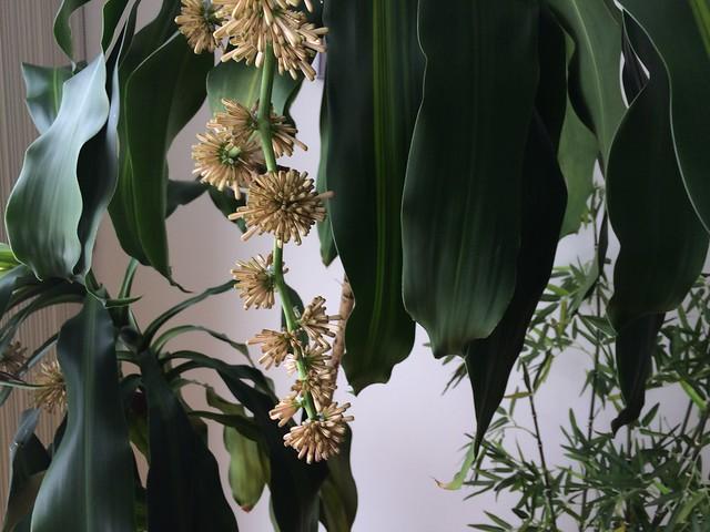 富贵竹,香龙血树,巴西铁树,铁树开花,Dracaena Frangras