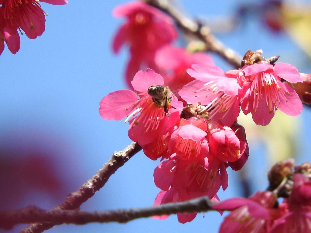 蜜蜂與櫻。圖片來源:陳秀竹。