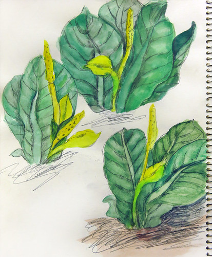 Skunk Cabbage painting in gouache