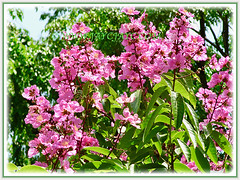 Lagerstroemia speciosa (Giant crape-myrtle, Queen's crape-myrtle, Queen's Flower, Pride-of-India) with showy clusters of vibrant pink blossoms, 11 April 2011