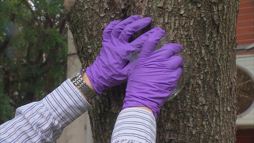 台大昆蟲系助理正進行校園內荔枝椿象移除計畫,每次工作都必須戴上雙層手套,以免受傷。