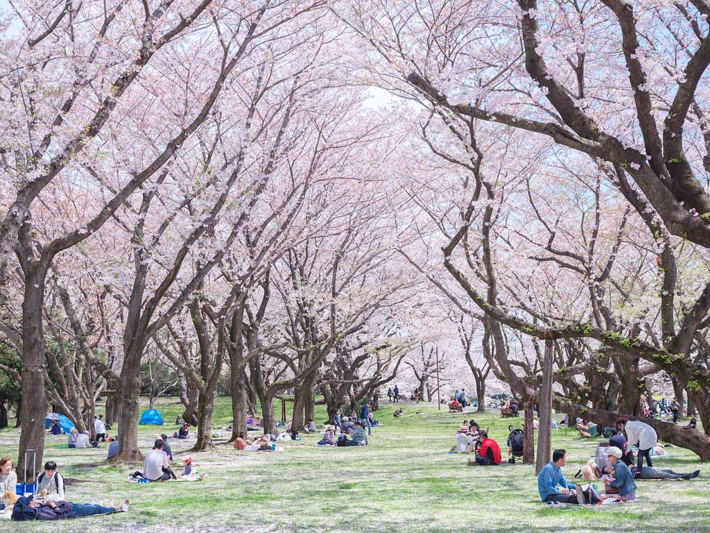 昭和記念公園の桜2017②