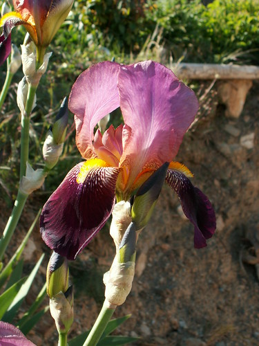 Iris 'Voltigeur' - Ferdinand Cayeux 1934 34170331346_d2a8fa0e6a