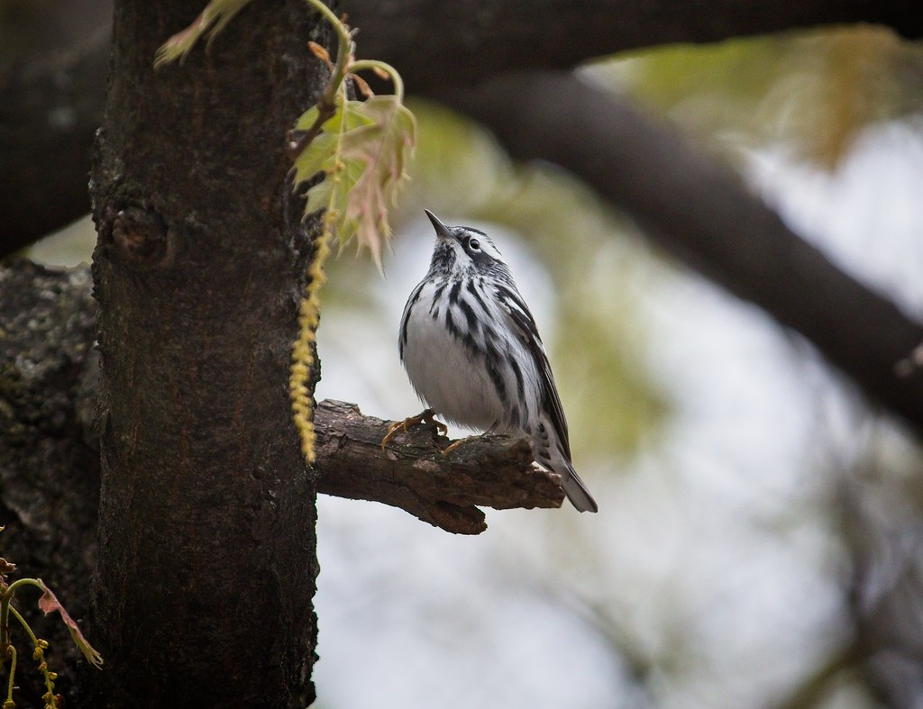 Black & white warbler