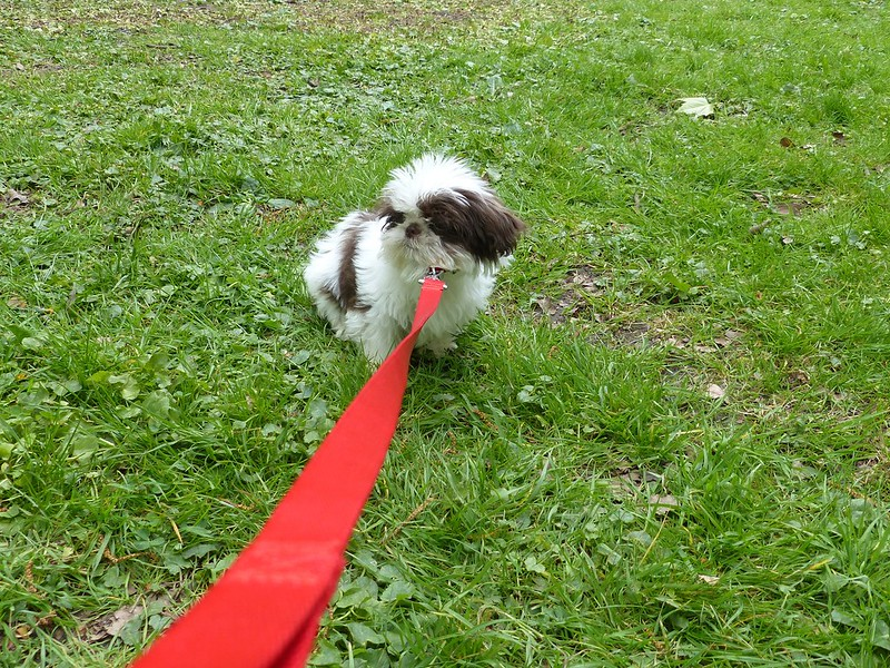 this is a picture of a small shah tzu puppy on a lead