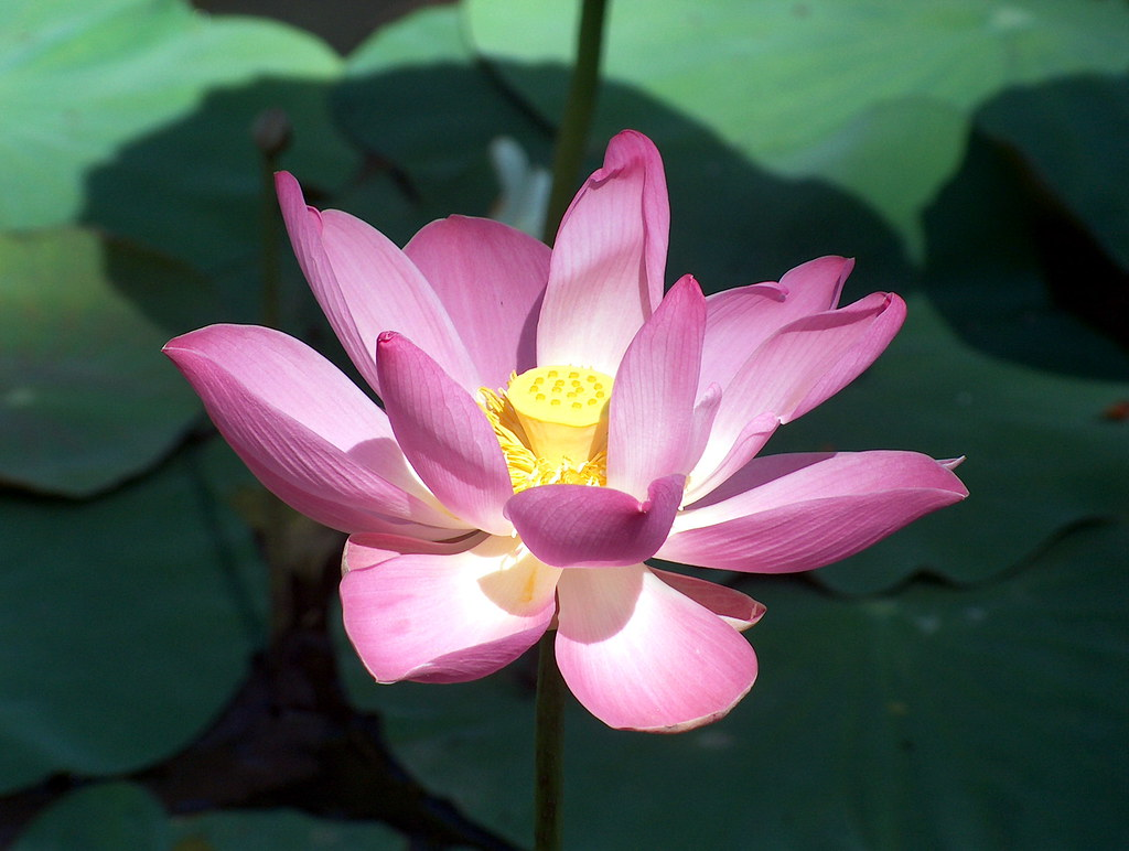 Indonesia Bali Lotus Flower 2 Nelumbo Nucifera Also Flickr