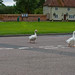 Why Did The Geese Cross The Road