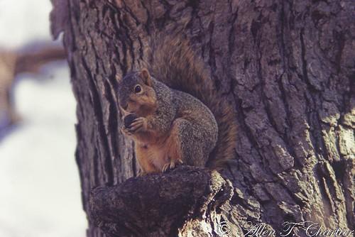 Sciurus niger (Eastern Fox Squirrel)