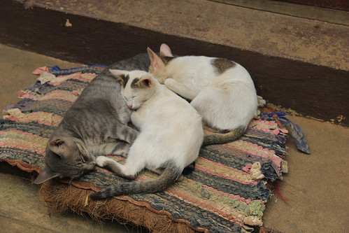 Family of adorable cats at Kyat Kan Kyaung