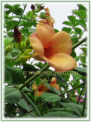 Trumpet-shaped blooms of Allamanda cathartica cv. Indonesia Sunset (Peach-coloured Allamanda), 27 Oct 2009