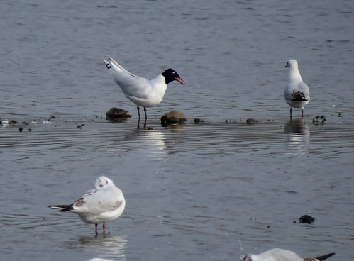 Mediterranean Gull Ichthyaetus melanocephalus Tophill Low NR, East Yorkshire March 2017