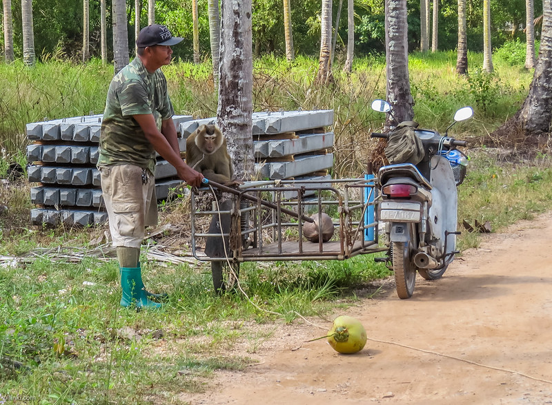 Monkey transported on scooter Thailand
