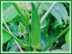 Young fruit vegetable of Abelmoschus esculentus (Lady's Fingers, Okra, Gumbo), 11 April 2017