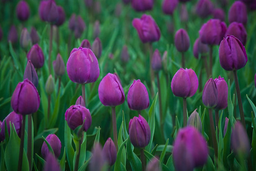 Sea of Purple Tulips
