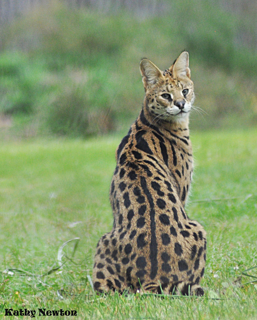 beautiful babe the serval kathy newton flickr