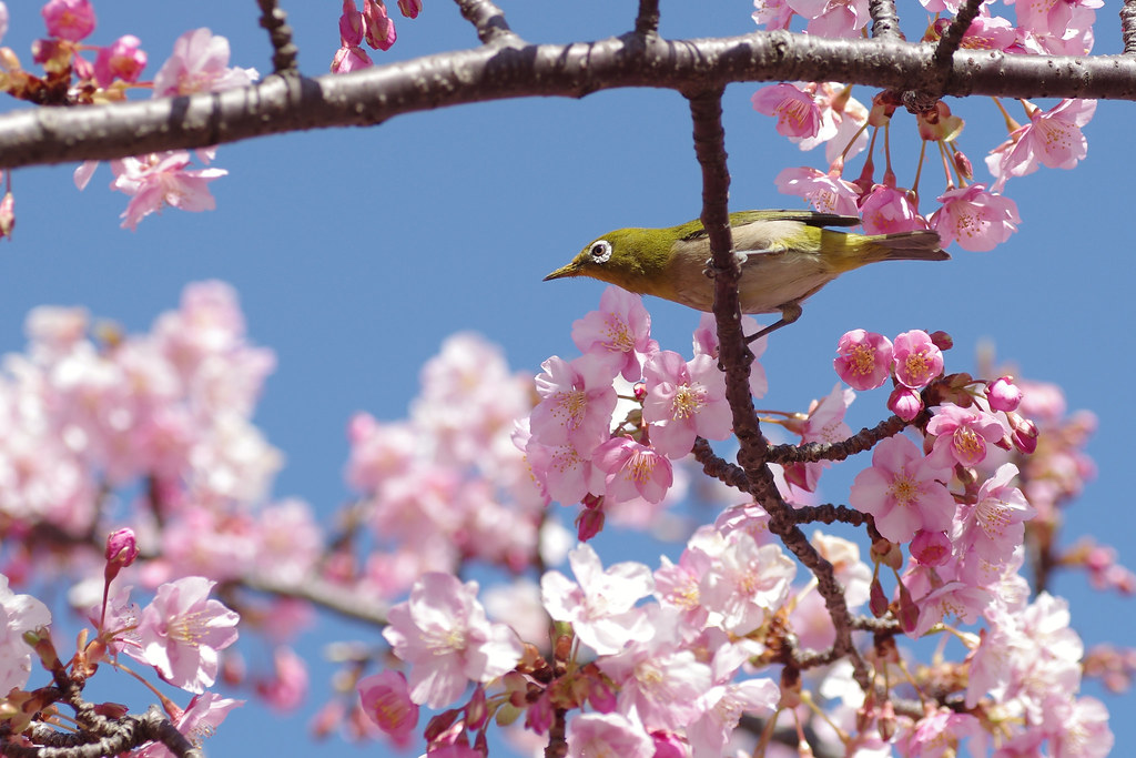Early-bloom cherry blossoms  & White-eyes