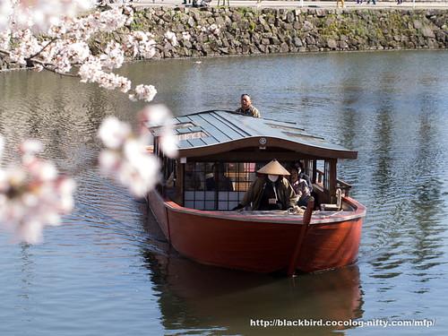 Cherry blossoms #08