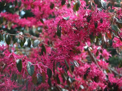 紅花トキワマンサク