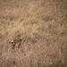 African Serval Cat - Serengeti