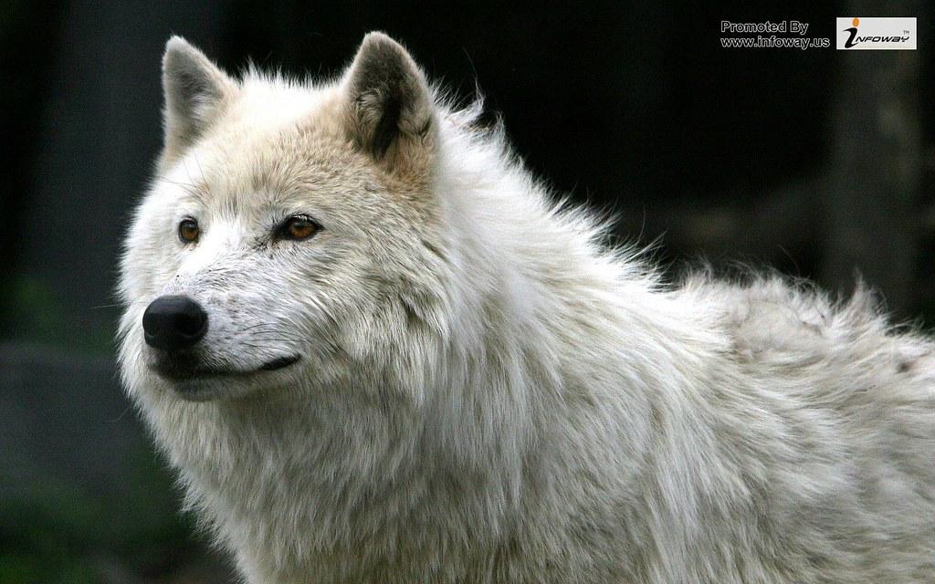 Wolf Wallpaper Widescreen