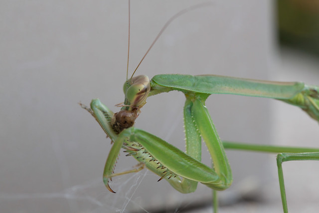 Mantis Eating a Spider | Flickr - Photo Sharing!