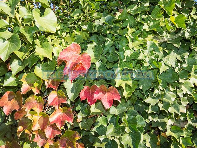 Grape IvyGrape Ivy