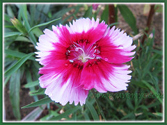 Dianthus 'Telstar Purple Picotee', February 4 2014