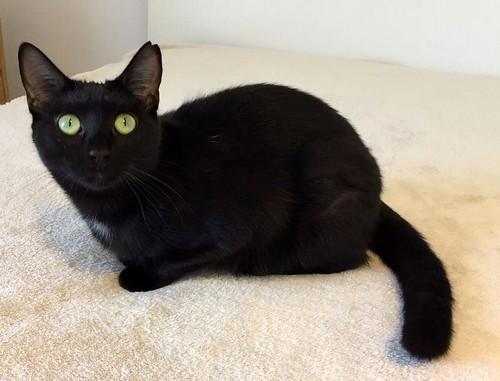Morgana, gatita negra monísima, juguetona y tímida esterilizada, nacida en Julio´16, en adopción. Valencia. ADOPTADA. 32486898654_3ed7279fb5