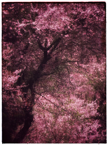 Cherry trees in Snapseed