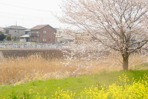 river, cherry blossoms, rape blossoms