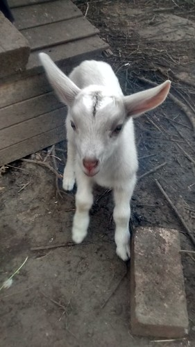 goat kids Apr 17 (27)