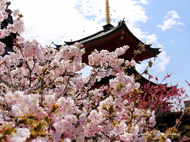 龍寶寺 御室の桜 多宝塔