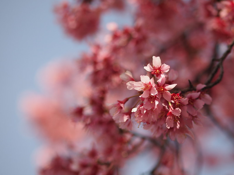 早咲きの桜 Early blooming cherry blossom