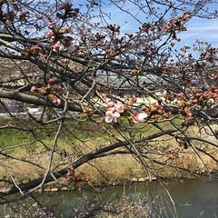 4月5日の桜