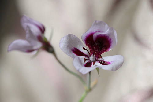 Pelargonium ticolor, a form with lilac flowers