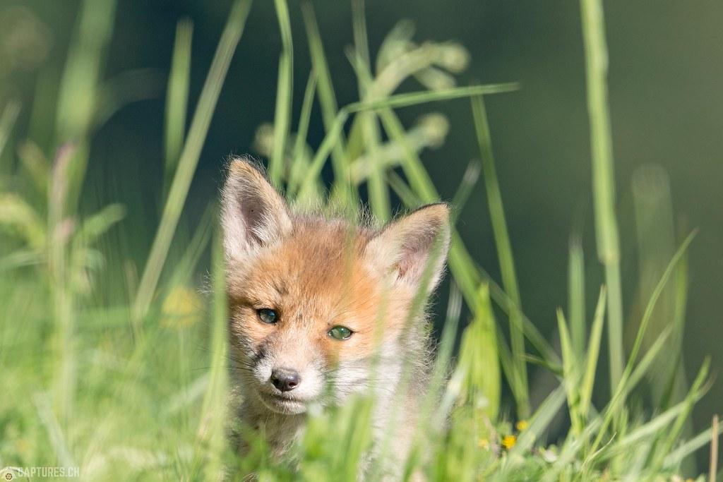 Fox kitty 2 - Emmental