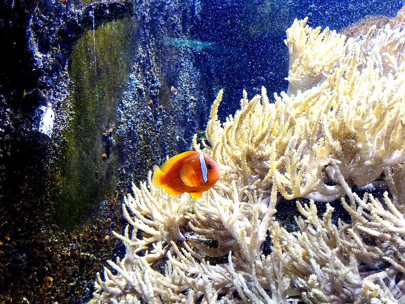 peixe nemo no aquário