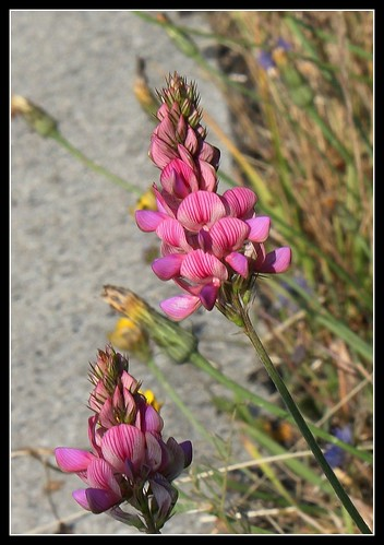 Onobrychis viciifolia - sainfoin, esparcette 33988501371_1be98bed8f