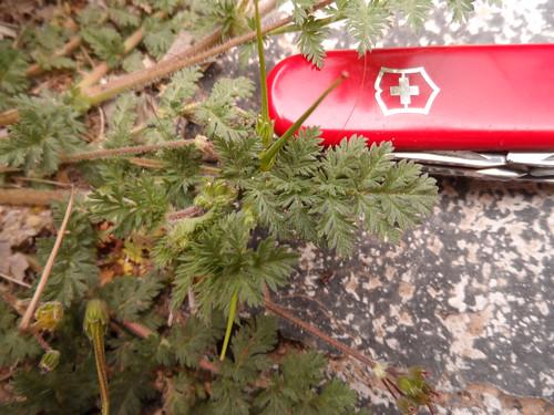 Filaree Erodium cicutarium