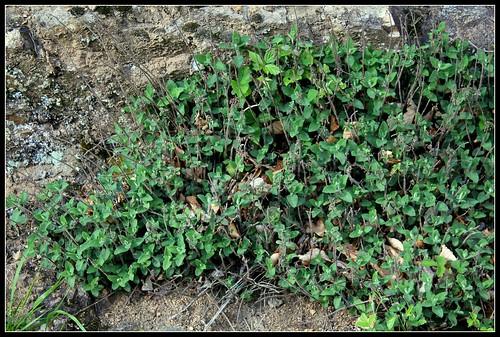 Teucrium scorodonia - germandrée scorodoine 34189860535_6821effc93