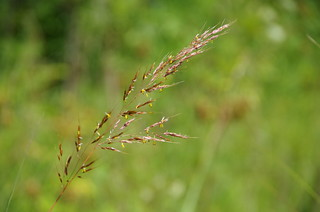 Indiangrass | by Arilenamay
