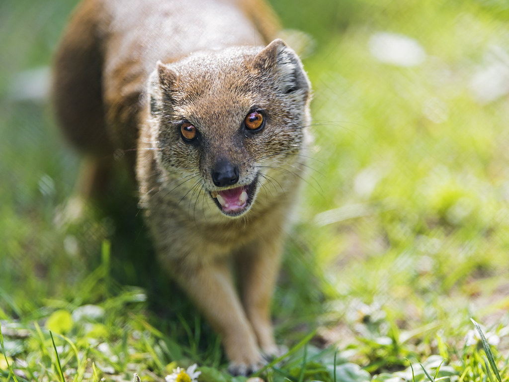 Cute Mongoose In The Grasses A Yellow Mongoose On The