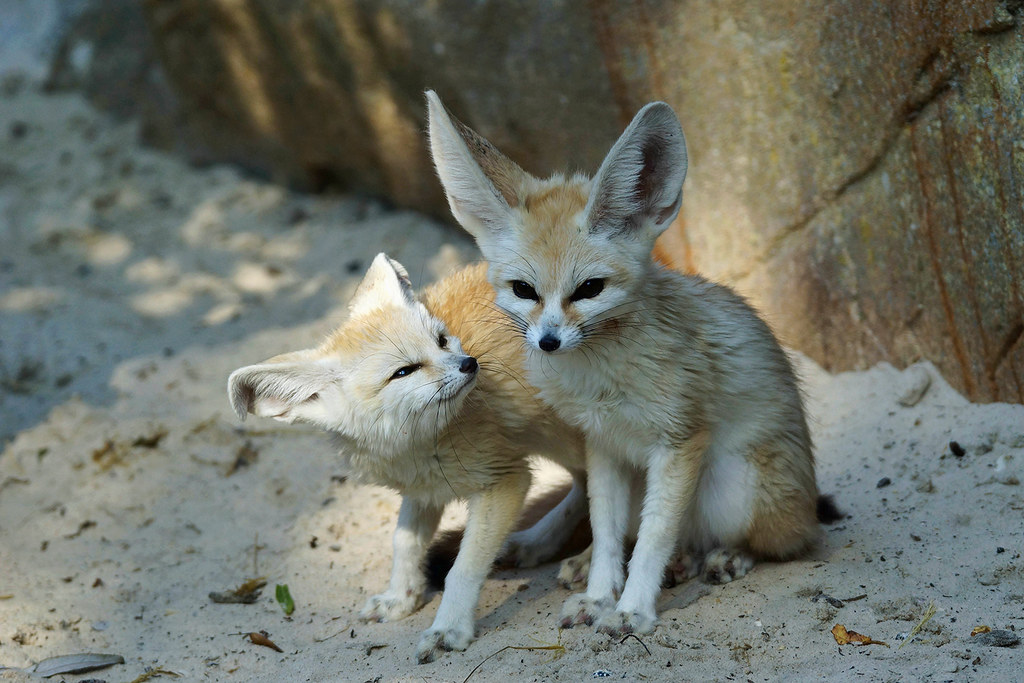 Fennec Foxes The Mean Look On That Little Face On The