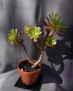 Aeonium arboreum 'Atropurpureum' - Page 4 10739283585_7b2c2ca422_n