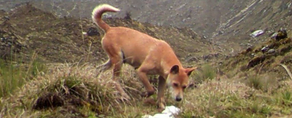 new-guinea-wild-dog_1024