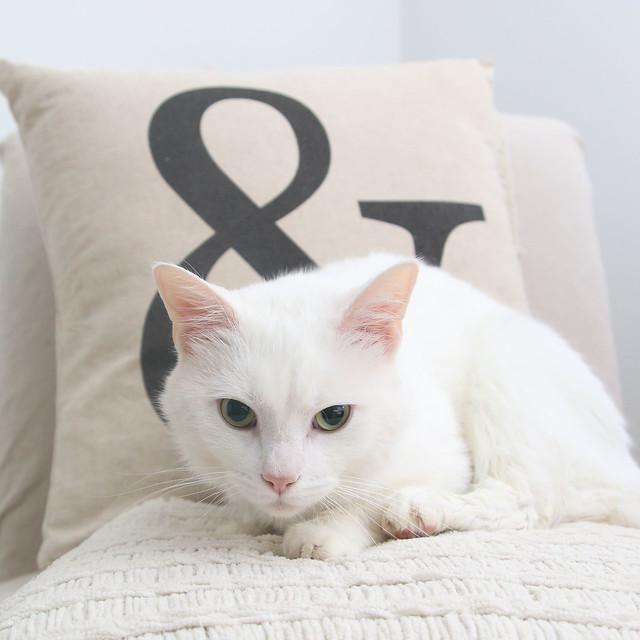 White Kitten Cat Kitty