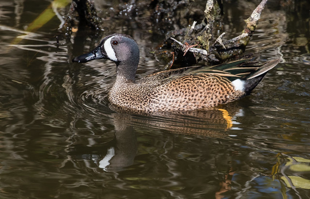 blue-winged teal 089_1221